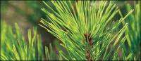 Pine leaves close-up picture material