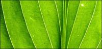 Green leaves, close-up picture background material