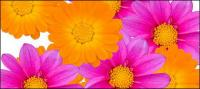 Color daisy picture material