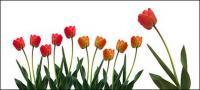 Tulip picture material