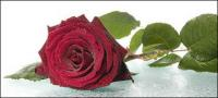 Big red roses picture material