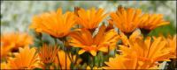 Orange daisy picture material