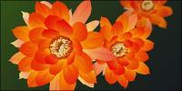 Exquisite lotus vector material