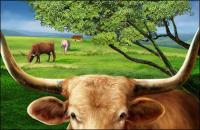 Cattle on the plains of the high-definition layered psd