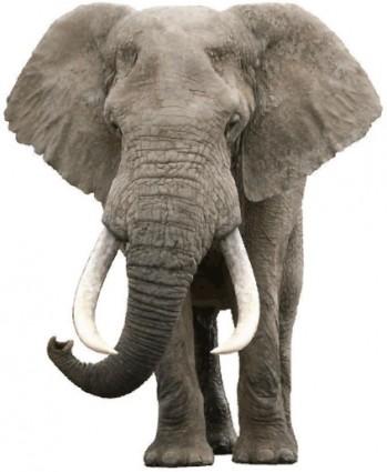 realistic elephant vector
