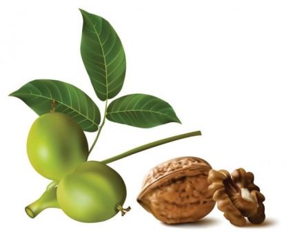 realistic green walnut walnut vector