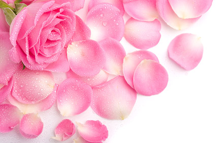 Pink rose petals picture material