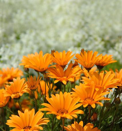 Orange daisy picture material