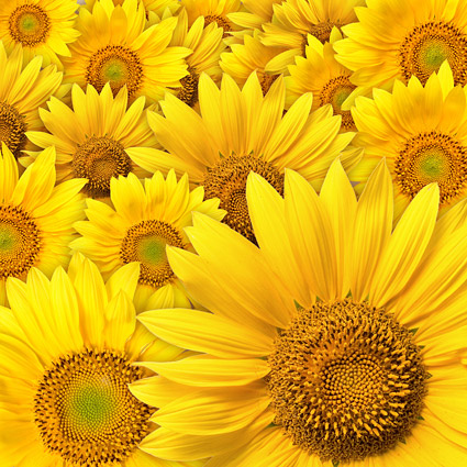 Sunflower background picture material