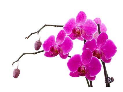 Orchid white picture material-9
