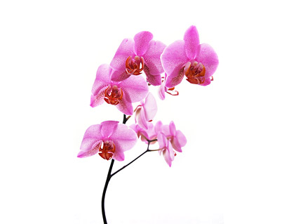 Orchid white picture material-8