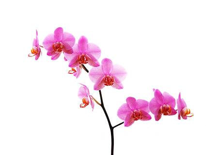 Orchid white picture material-7