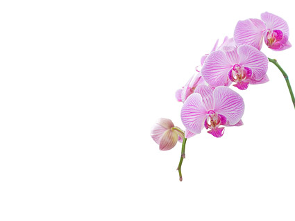 Orchid white picture material-6