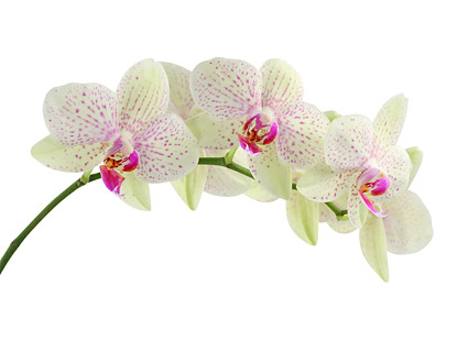 Orchid white picture material-4