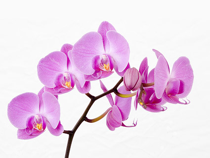 Orchid white picture material-3