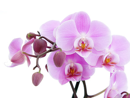 Orchid white picture material-2