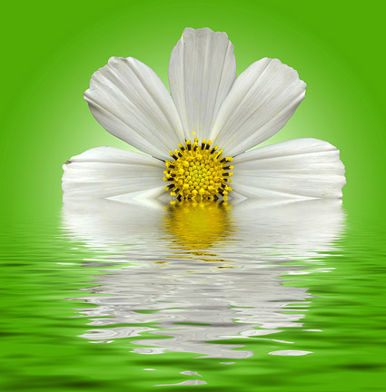 Water white daisy picture material