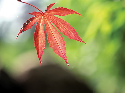 Red Maple Leaf picture material