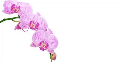 Orchid white picture material-10