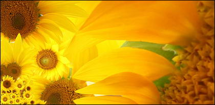Sunflower picture background material-6