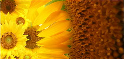 Sunflower picture background material-3