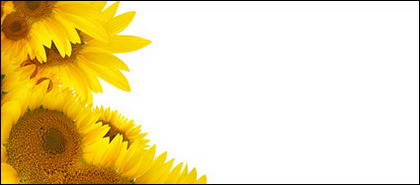 Sunflower picture background material-2