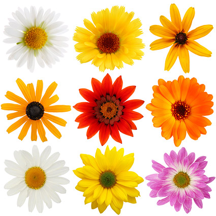 Colorful daisy picture material