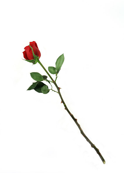 A red rose picture material