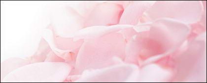 Soft pink rose petals