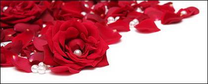 Pearl red rose petals