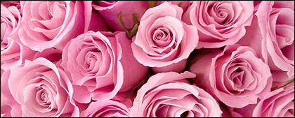Pink roses background picture material