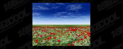Red flowers on the grassland of the picture material
