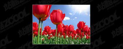 Tulip garden picture material