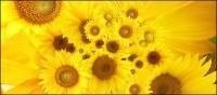 Sunflower gambar latar belakang bahan-4