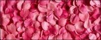 장미 꽃잎 핑크 배경 그림 자료