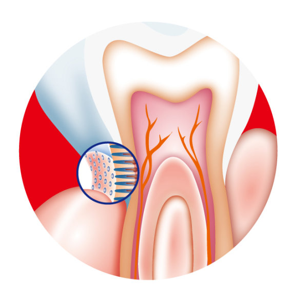 Dental internal vector